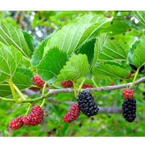 Poshan: A Multi-nutrient Formulation for Correcting the Nutrient Deficiencies in Mulberry